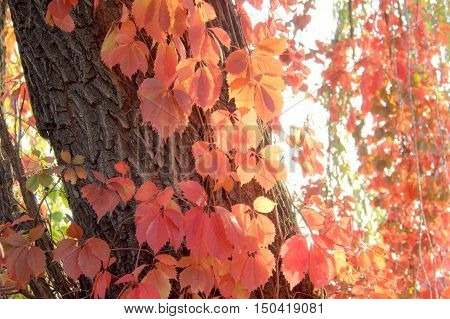 Red  leaves of Virginia creeper in the forest of Ukraine
