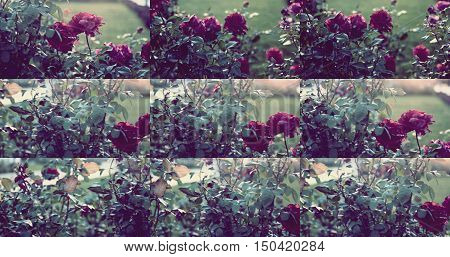 Set of dying roses in autumn garden colorized shot. Collection of images.