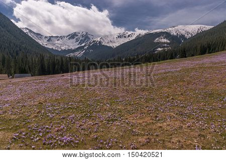 Spring nature. Crocuses on the glade. Tatry