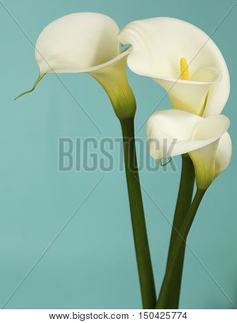 Three Calla Lily Flowers Shot on a Light Teal Background in the Studio