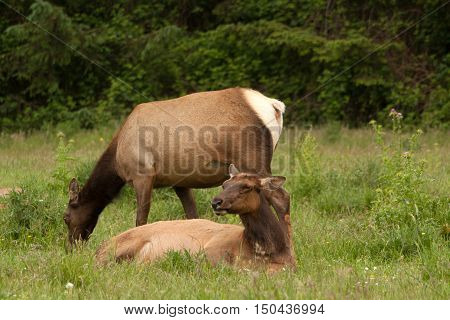 Two cow elk relax and graze in the Redwoods State Park in Oregon