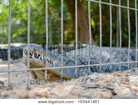 Nile Crocodile Teeth