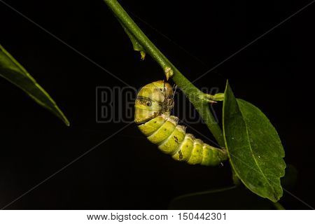 close up chrysalis of butterfly hanging on branch