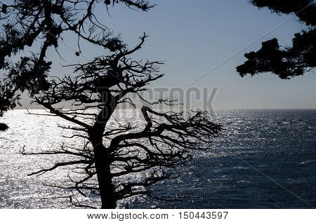 The Silhouette Of Lone Cypress, Seen From The 17 Mile Drive In Pebble Beach Of  Monterey Peninsula.