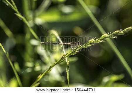 Small young dragonfly on a plant outdoor macro closeup