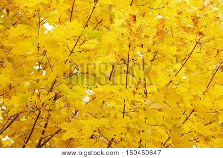 Autumn Leaves. Autumn. Close-up Leaves. Yellow Leaves And Sunlight. Autumn Sunlight. Sky And Yellow