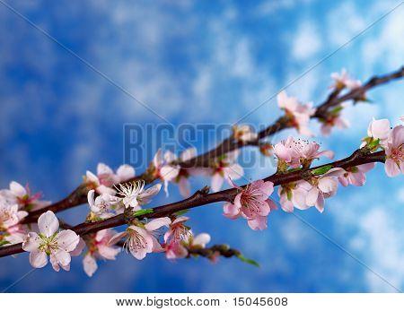 Peach Branch in Full Bloom