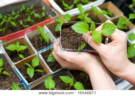 Seedling In Female Hands