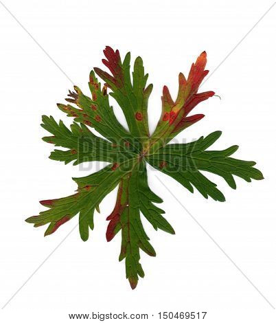 terry carved leaf marsh green with red veins isolated on white