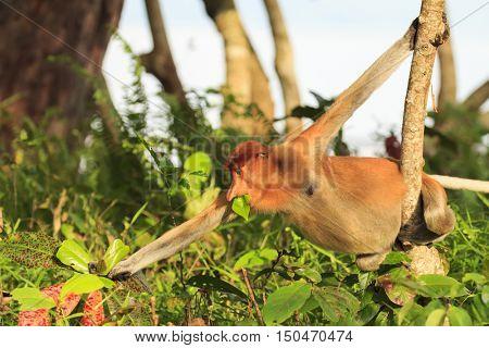 Female Proboscis Monkey eating leaves