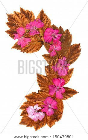 Isolated wave line pink geranium collection of elements application of dried pressing bright flowers yellow celandine long stiff brown maple leaves. set for your design on a white background
