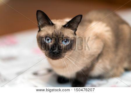 Siamese kitten portrait