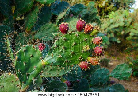 Close up of cactus and flower on sand hill at Phan Rang Vietnam a kind of plant that stand in hot weather