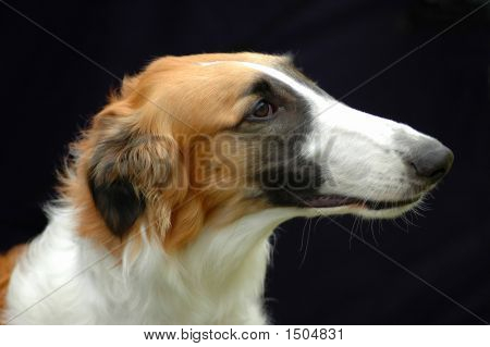 Borzoi Hound Dog