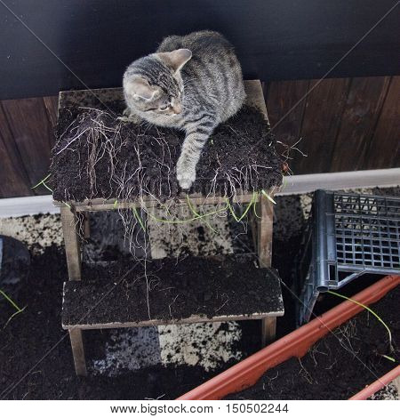 cat mischiefs - overturned box with ground and seedlings