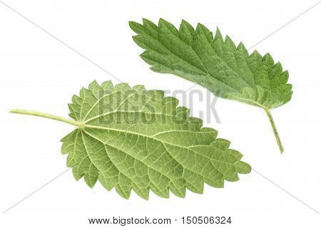 Stinging nettle leaves isolated on white background