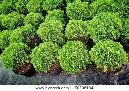 Many black pots with soil and green seedlings of spherical coniferous trees of juniper. Top view.