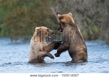Two Alaskan Brown Bears Playing
