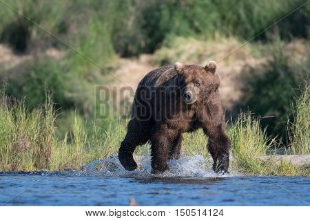 Large Alaskan Brown Bear