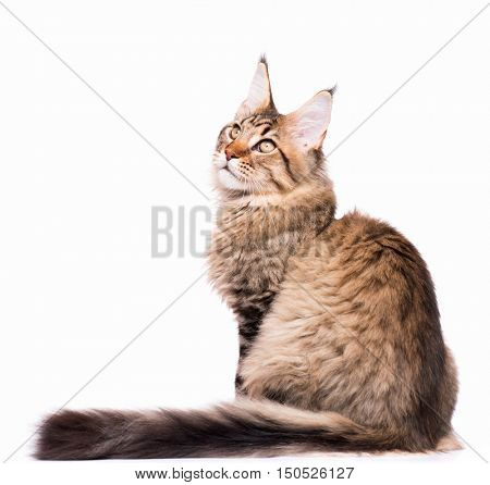 Portrait of domestic black tabby Maine Coon kitten - 5 months old. Cute young cat sitting in front. Adorable kitty isolated on white background.