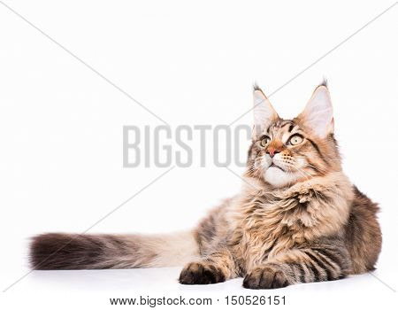 Portrait of domestic black tabby Maine Coon kitten - 5 months old. Adorable cat lying down and looking up. Curious young striped kitty isolated on white background.
