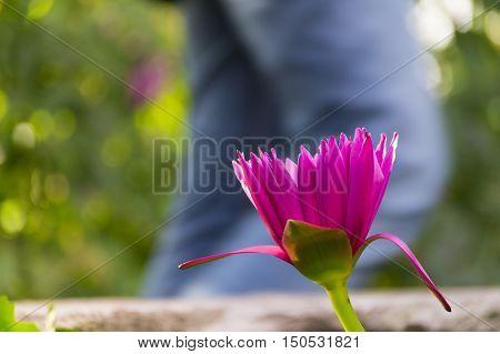 Blick auf eine violette Seerose im Frühling