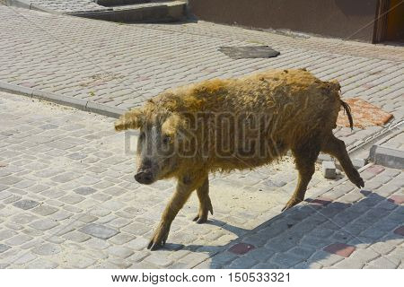 Domestic pig with an unusual coat and appearance