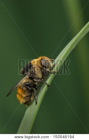 A recently-emerged female Narcissus Fly - Merodon equestris - on a plant stem. This fly is a bumblebee mimic.
