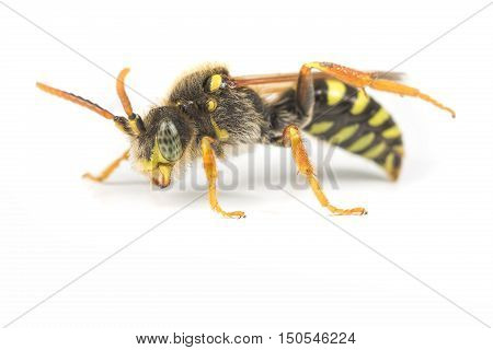 A Nomada species Cuckoo Bee on a white background. Attacks the nests of Andrena mining bees.