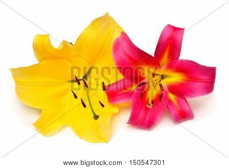 Two beautiful colored lily pink and yellow isolated on white background