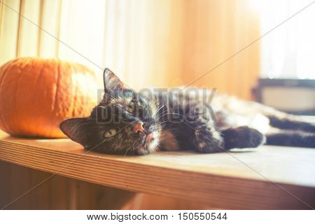 Triple Color Cat On Wood Table With Pumpkin And Bright Light From Window