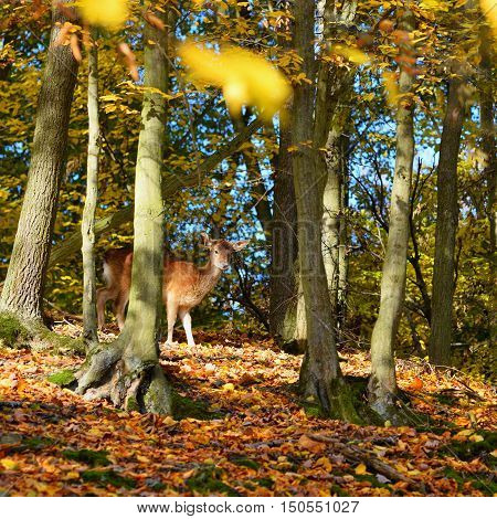 Beautiful color background of autumn nature in the woods with wild deer. Fallow deer (Dama dama)