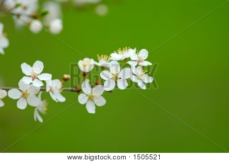 Flowers Plums