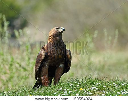 Golden eagle (Aquila chrysaetos) standing in grass in its habitat