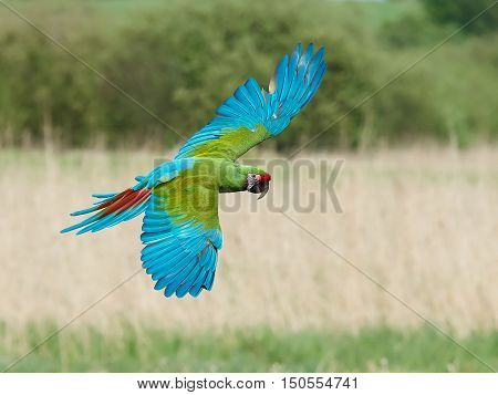 Military Macaw (Ara militaris) in flight with vegetation in the background