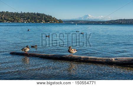 A view Mount Rainier and birds on Laie Washington. Photo taken at Seward Park near Seattle.