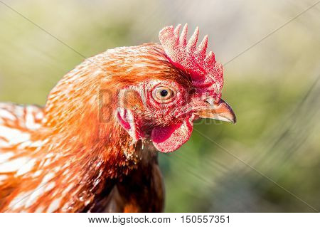 close up portrait of bantam chicken, poultry