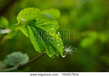 raindrop on a rose leaf / kropla deszcz na liściu róży