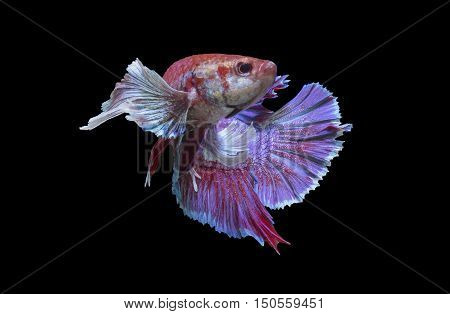 Siamese fighting fish. isolated on black background.