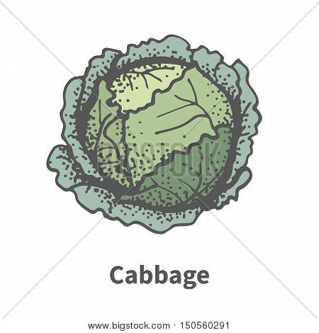 Vector illustration doodle sketch hand-drawn cabbage. Isolated on white background. The concept of harvesting. Pets vegetables. Vintage retro style. Head of cabbage.
