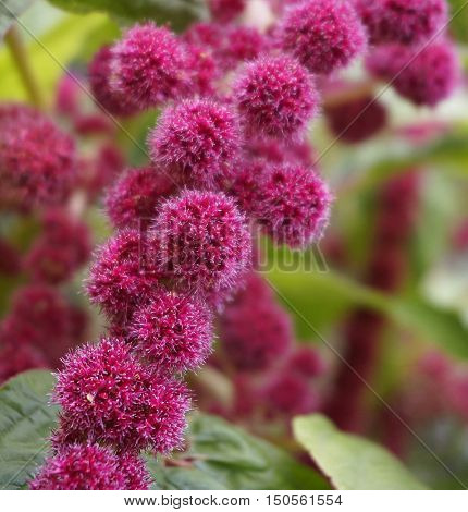 Many blossoming (cockscomb) celosia red flowers amaranth, selective focus close up macro