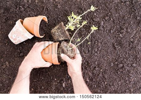 Hands Placing Seedlings With Peat Into Clay Pots