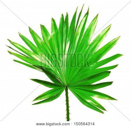 Palm leaf isolated on white background. Flower. Macro