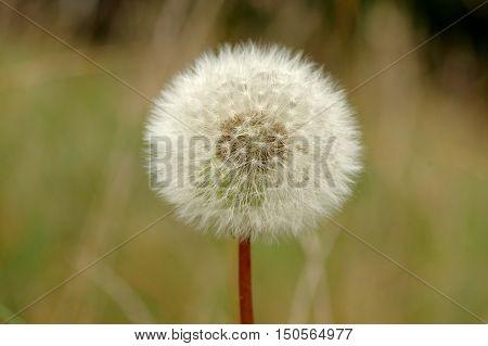 The photograph shows a mature inflorescence dandelion.