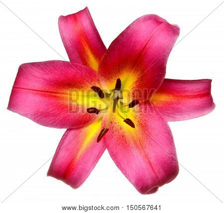Pink lily flower close-up isolated on white background