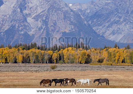 A group of horses in the Grand Teton National Park