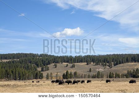 Bison grazing in the plains in the Grand Teton National Park