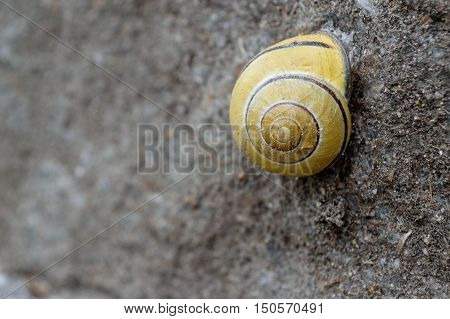 Closeup of a snail hidden in her yellow snail shell
