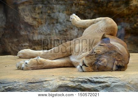 Sleeping lioness lying on the sun and heats the