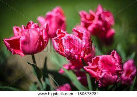 Close up photo of  pink parrots tulips in garden.